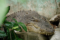 Philippine saltwater Crocodile crocodylus porosus