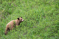 A yearling cinnamon black bear forages for grass.