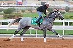 RIYADH, SA February 19 2021: TACITUS (USA) Track work from King Abddulaziz Racetrack, Riyadh, Saudi Arabia. Shamela Hanley/Eclipse Sportswire/CSM