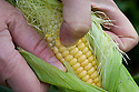 Testing a corn cob for ripeness by pricking one of the kernels with a thumbnail. If the juice is milky, the cob is ripe.