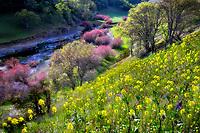 Saltcedar or Five-Stamen Tamarisk (Tamarix chinensis {ramosissima} along banks of Bear Creek with yellow Wallflower (Esysimum sp). Bear Valley, California
