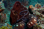 Reef octopus, Octopus cyanea, Lembeh Strait, Manado, North Sulawesi, Indonesia, Pacific Ocean