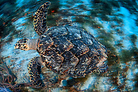 Hawksbill turtle, Eretmochelys imbricata, swimming in Cozumel, Mexico, Caribbean Sea, Atlantic Ocean