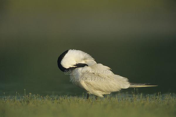 Gull-billed Tern, Sterna nilotica, adult preening, Welder Wildlife Refuge, Sinton, Texas, USA, June 2005