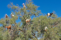 Goats feeding on Argan nuts in an Argon tree. Near Essouira,, Morocco