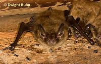 MA20-560z  Little Brown Bats, Myotis lucifugus