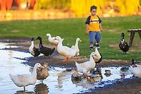 Anas platyrhynchos, patos de vida silvestre en humedal, Pato. (Photo: Luis Gutierrez / NortePhoto.com).<br /> <br /> Anas platyrhynchos, patos de vida silvestre en humedal, Pato. (Photo: Luis Gutierrez / NortePhoto.com).