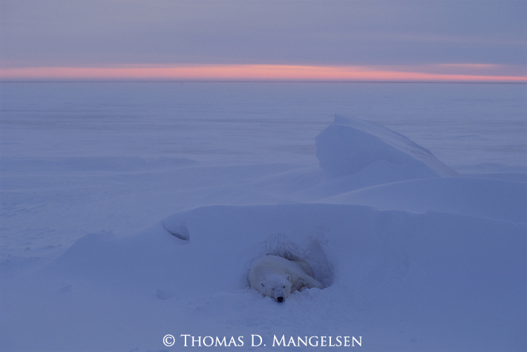A Polar bear lays in a day bed as the sun begins to rise.