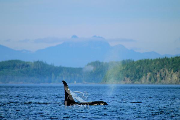 Orca whale (Orcinus orca)