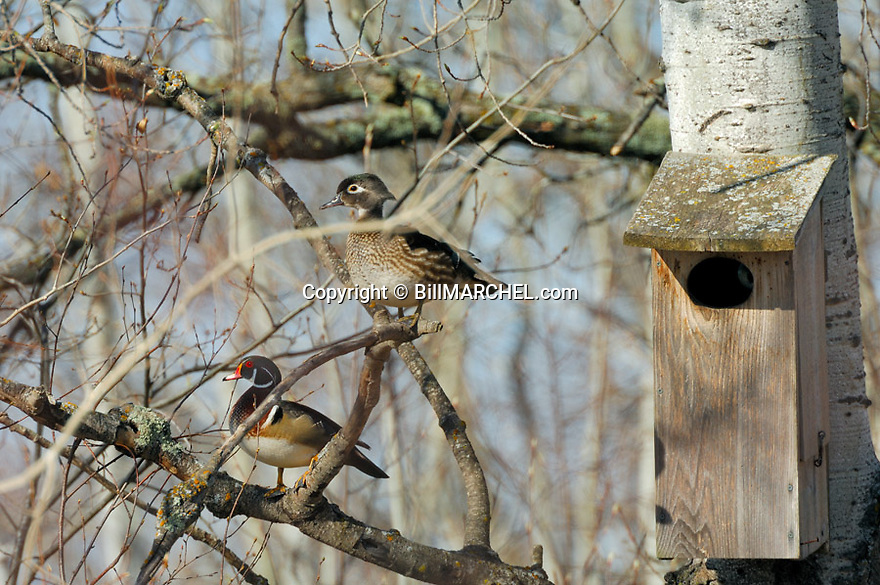 00360-086.16 Wood Duck (DIGITAL) hen and drake are perched near wood duck nesting box in aspen tree.  Breed, pair, spring.  H2L1
