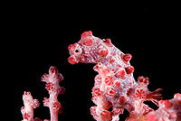 Pink pygmy seahorse, Hippocampus bargibanti, Raja Ampat, West Papua, Indonesia, Pacific Ocean