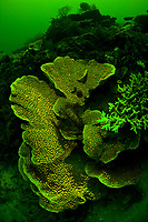 Fluorescing under UV light, a foliose coral, Echinopora sp., grows quickly to create as much surface area as possible in order to catch sunlight. The reason some corals fluoresce is unknown. Buyat Bay, North Sulawesi, Indonesia, Pacific Ocean
