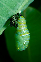 Monarch butterfly leaving skin and turns into chrysalis