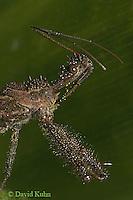 0910-06oo  Assassin Bug - Reduviidae spp. Virginia - © David Kuhn/Dwight Kuhn Photography