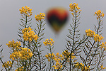 A hot air balloon is perfectly framed by a mustard plant in Napa Valley California.