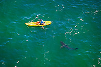 great white shark, Carcharodon carcharias, approaching kayaker, Mossel Bay, South Africa