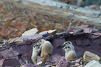 Four young Hoary Marmots (Marmota caligata), Glacier National Park, Montana.  Summer.