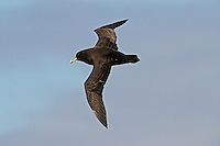 White-chinned Petrel in flight, Southern Ocean