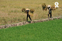 Farmers with rice crop on shoulder (Licence this image exclusively with Getty: http://www.gettyimages.com/detail/83154197 )