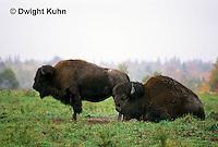 MA31-003a  American Bison - buffalo - Bison bison