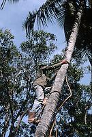 Cuba/Env La Havane: Un homme grimpe à un cocotier couper les noix de coco à la Guanabito Farm