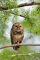 Barred Owl (Strix varia).  Southern swamp.