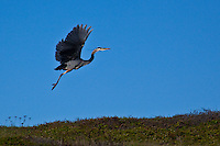 Great Blue Heron's can have a wingspan as big as John Wayne - over six feet.  This one is using its winge to move a few hundred feet to a new spot to look for lunch.
