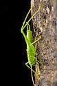 Southern Oak Bush-cricket male {Meconema meridionale}. Plitvice Lakes National Park, Croatia. November.
