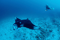 Manta ray and Scuba Diver, Manta alfredi, Maldives Islands, Indian Ocean