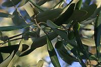 Puglia albero di ulivo   Olive<br /> Apulia olive tree Olive<br /> Pouilles olivier olive