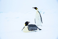 Snow Hill Island, Antarctica. Adult Emperor penguin tobogganing to save energy while traversing the ice.