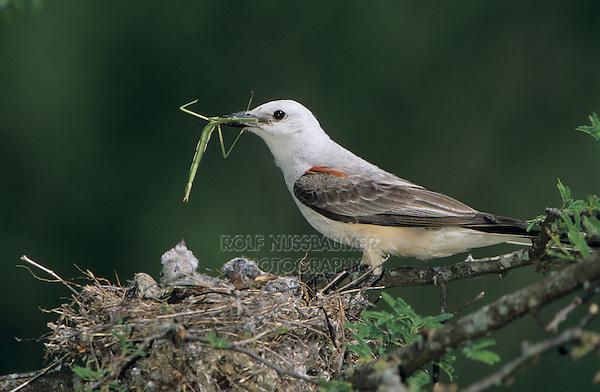 Scissor-tailed Flycatcher, Tyrannus forficatus,adult feeding young in nest, Welder Wildlife Refuge, Sinton, Texas, USA