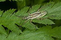 Langhaarige Dolchwanze, Graswanze, Weibchen, Leptopterna dolabrata, meadow plant bug, female, Miridae, Weichwanze, Weichwanzen