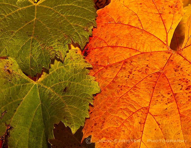 Autumn Orange wine leaves