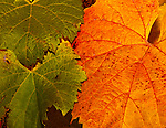 Autumn Orange wine leaves