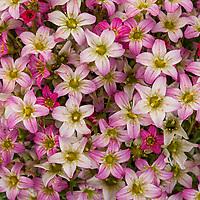 Creeping saxifrage - TOURAN PINK Saxifraga x arendsii; Syngenta Flowers