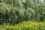 Willow trees at the Arnold Arboretum, Boston, Massachusetts, USA