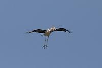 Marabou Stork in the area surrounding Lake Langano, Ethiopia