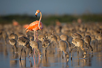 Adult American Flamingo (Phoenicopterus ruber) standing in the middle of the creche in a large nesting colony. Rio Lagartos Biosphere Reserve, Mexico. July.
