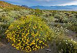Anza-Borrego Desert State Park, CA: Mornign light on flowering Brittlebush (Encelia farinosa), brown-eyed primrose (Camissonia claviformis) and desert chicory (Rafinesquia neomexicana) in Glorieta Canyon