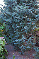 Cupressus arizonicus 'Blue Ice', silver gray foliage Arizona cypress tree in Kuzma Garden. Photo MUST be credited as Design by Sean Hogan.