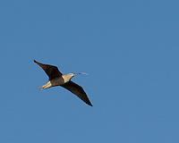Long-billed Curlew, Intercostal Canal, Rockport, Texas
