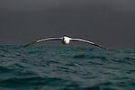 Southern Royal Albatross (Diomedea epomophora) gliding over ocean, Kaikoura, South Island, New Zealand