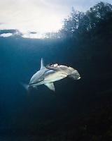 A captive juvenile scalloped hammerhead shark, Sphyrna lewini, Kane'ohe Bay, O'ahu.