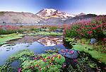 Lewis' monkey flower near alpine stream and Mount Rainier at sunrise, Mount Rainier National Park, Washington