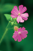 Red Campion (Silene Dioica), Mouse Water