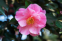 Camellia × williamsii 'Monica Dance', late March. Bred by Arnold Dance, head gardener at Burncoose and named after his wife.
