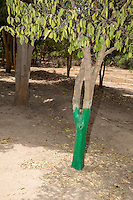 Termite Protection.  Green Paint Protects Trunks from Attack by Termites.  Mendy Kunda, North Bank Region, The Gambia