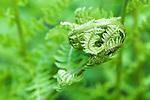 Fiddlehead, Bracken Fern.  Ohme Gardens, Wenatchee, Chelan County, Washington, USA.