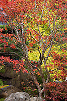 Japanese Tea Garden in Golden Gate Park, San Francisco, California. Japanese Maple tree in fall color.